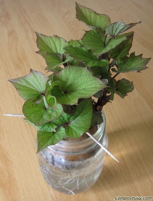 Grow new sweet potato vines out of a sweet potato.